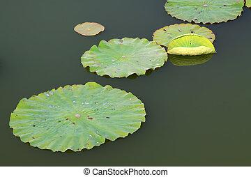 lotus, eau, feuilles
