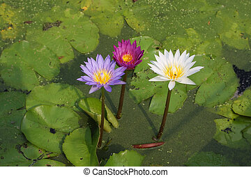 lotus, eau, fleurs, fleurir, étang, fleurs, lis, ou