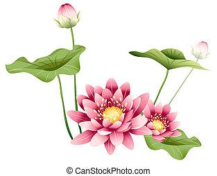 lotus, feuilles, fleur