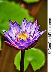 lotus, fin, fleur, hdr, haut
