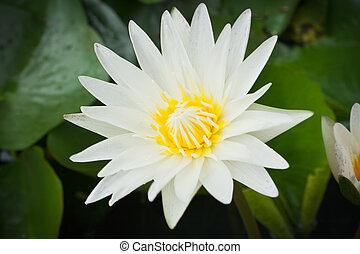 lotus, fleur blanche, closeup, lac