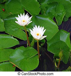 lotus, fleur blanche, deux