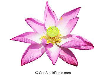 lotus, fleur blanche, isolé