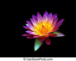 lotus fleur, isolé