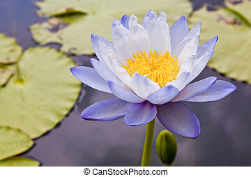 lotus, fleurs, ou, nénuphar, fleurs, fleurir, sur, étang