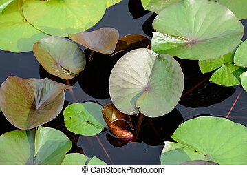 lotus floating on a pond