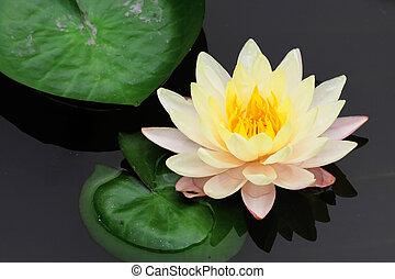 lotus, flowe