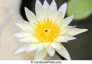 lotus flower A beautiful in pond background