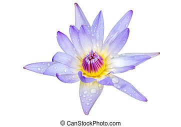 lotus flower A beautiful purple waterlily in pond