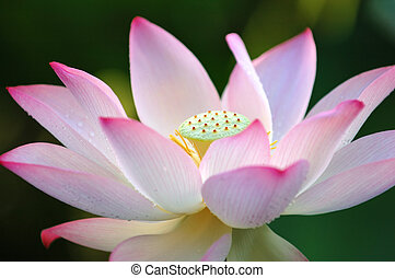 Lotus flower - A blooming lotus flower over dark background
