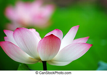 A shot of blooming lotus flower showing its purity