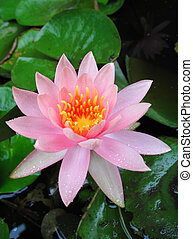 Lotus Flower After Rain
