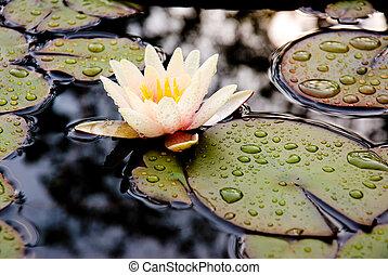 Lotus flower and rain drops