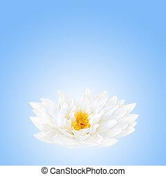 Lotus Flower Beauty