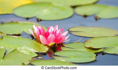 Lotus flower  blossom in the pond