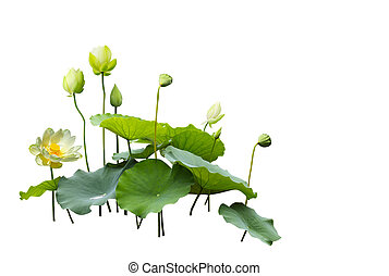 Lotus flower, bud, leaf in a pond isolated on white ...