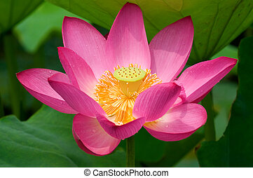 Close up of blooming lotus flower over leaves