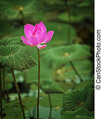 Lotus flower half-blown close up
