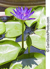 Lotus flower in a basin