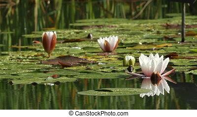 Lotus flower in a pond by springtime