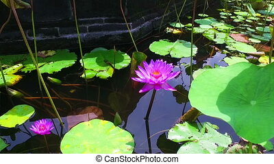 Lotus flower in a pond on Bali Indonesia