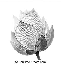 Lotus flower in black and white isolated on white background...