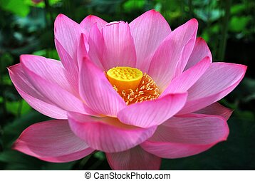 Lotus flower in full bloom, symbolizing religion, buddhism,...