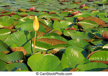 Lotus flower in tropical garden