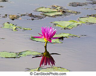 Lotus flower in water and reflect