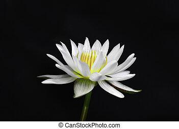lotus flower isolated on black background