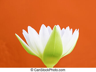 lotus flower isolated on red background
