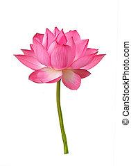 Lotus flower isolated on white background