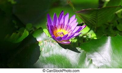 Lotus flower - Lotus purple flower with bee