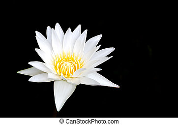 Lotus flower on black background.
