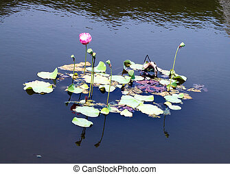 lotus flower on the river