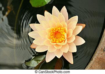 Lotus flower or waterlily - Beautiful Lotus flower - aquatic...