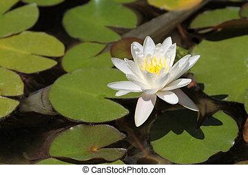 Lotus flower close up image