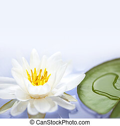 Lotus flower - White lotus flower or water lily floating...