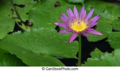 Lotus Flower - Beautiful Lotus Flower, Naturally beautiful...