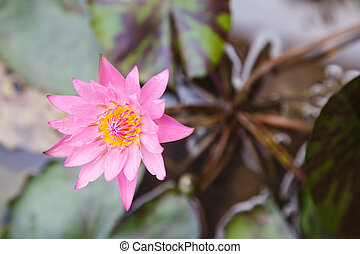 lotus flower top view