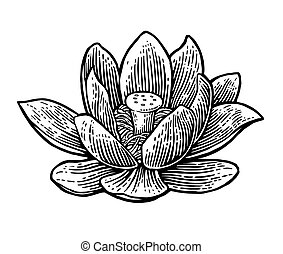 Lotus flower. Vector black engraving vintage illustration on white background