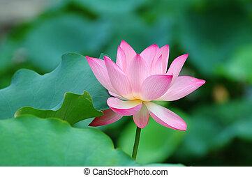 Lotus flower - View of a blooming lotus flower over leaves