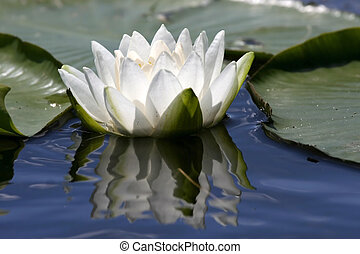 Lotus flower - White fresh lotus flower in the blue water