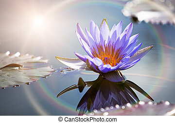 A beautiful purple lotus flower in a still water pond with a reflection and sun rainbow ring light