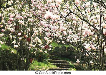 Lotus-flowered Magnolia