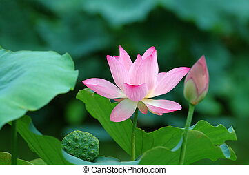 The lotus flowers and a single seed head