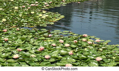 Lotus Flowers and Water Lilies in a Pond - Beautiful pink...