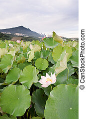 Lotus flowers farm