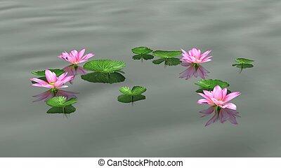 lotus flowers in calm water