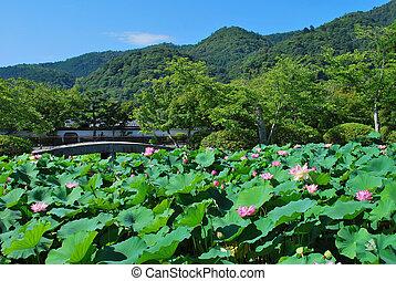 Lotus flowers in full bloom